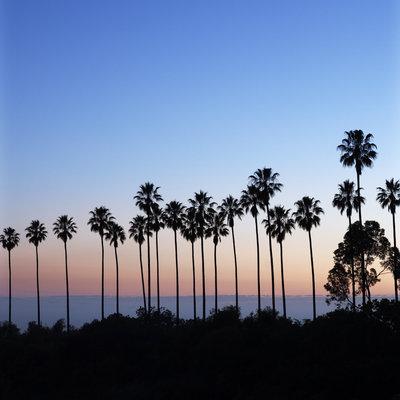 western-palm-trees-mexican-fan-palms-elysian-park-0214